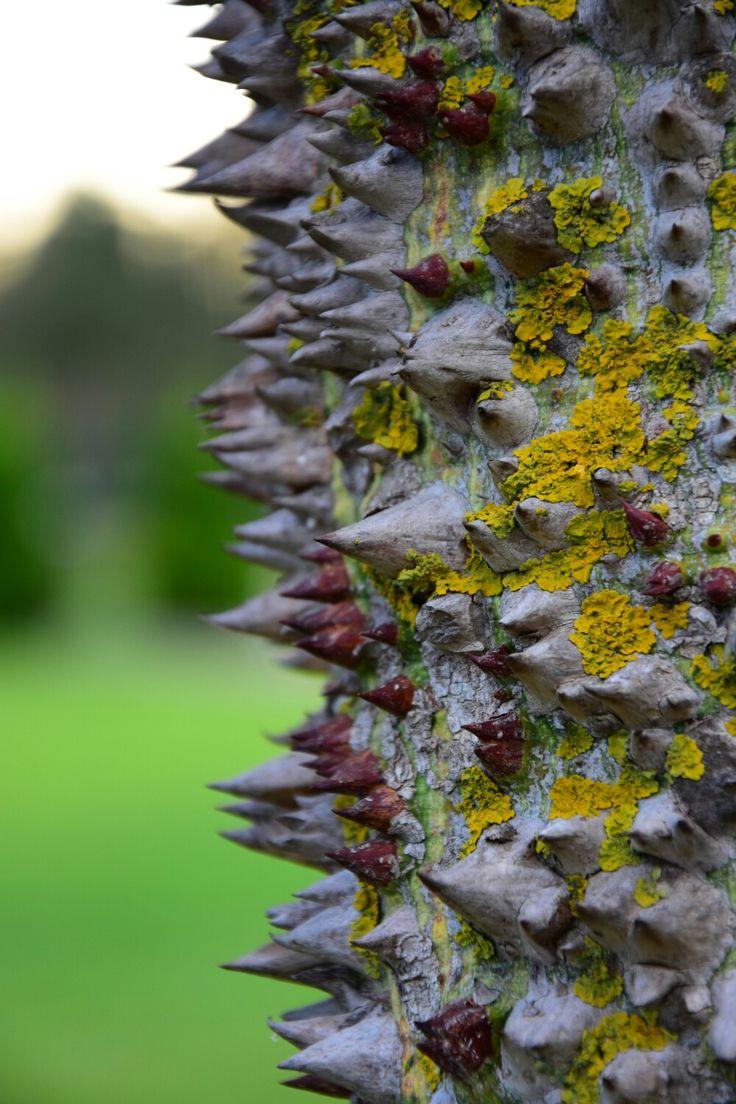 Floş ağacı (Chorisia speciosa)