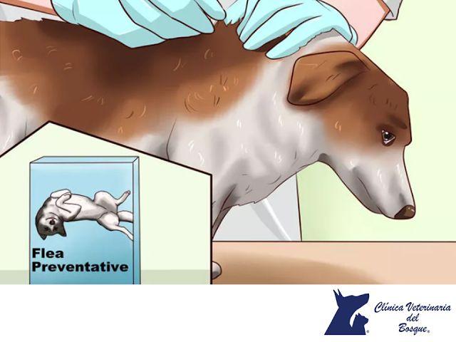 Trata a tu perro contra las pulgas. LA MEJOR CLÍNICA VETERINARIA DE MÉXICO. Es posible que tu perro sufra de alergia a las pulgas incluso si no has notado su presencia, podría ser alérgico a la saliva de las mismas y en ese caso, tan solo una o dos picaduras son suficientes para desarrollar una enfermedad de la piel grave. En Clínica Veterinaria del Bosque, contamos con especialistas para tratar este tipo de padecimientos en tu mascota.  #veterinaria