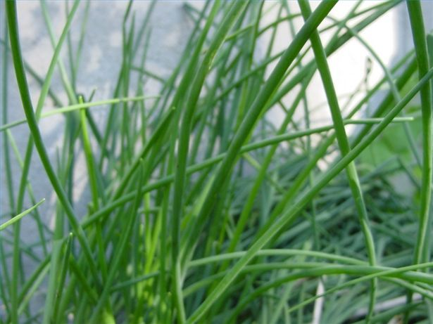 How Long Does It Take to Grow Chives? | Growing chives ...