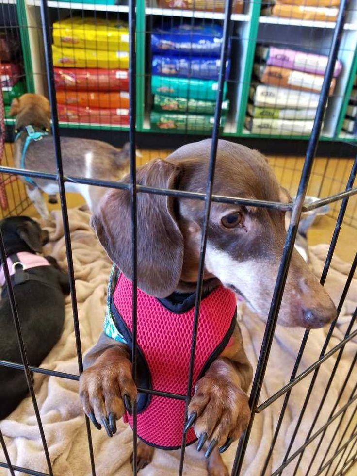 Dachshund dog for Adoption in Aurora, CO. ADN-746376 on PuppyFinder.com Gender: Female. Age: