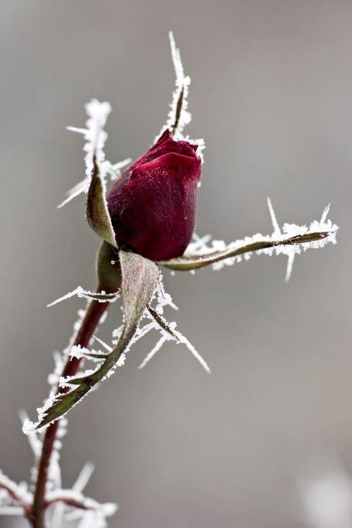 25 beste idee n over rozen op pinterest mooie rozen. Black Bedroom Furniture Sets. Home Design Ideas