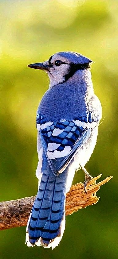 Blue Jay it is sometimes called a Jaybird. Four subspecies of the Blue Jay are recognized. They are Northern, Coastal, Interior and Florida.