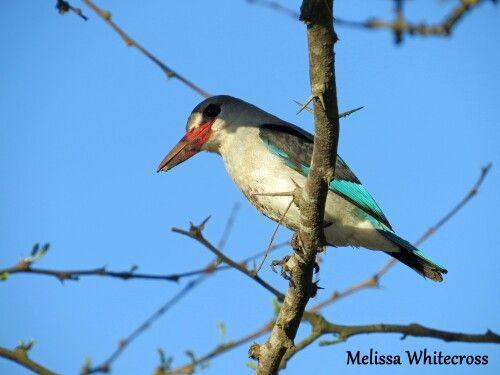 Mangrove Kingfisher - Mtunzini, KZN