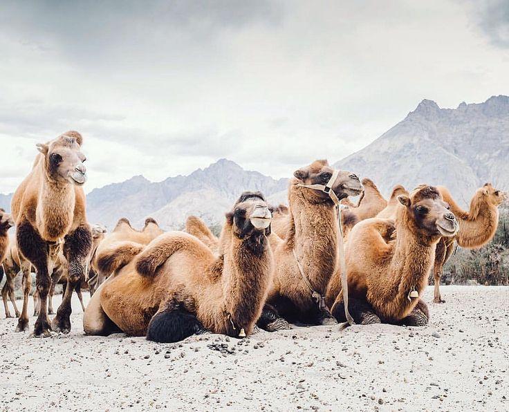 Долина Нубра, Север Индии. Около 3050м. Здесь находится высокогорная пустыня, где местной достопримечательностью служат бактрианы - двугорбые верблюды . Их дальние родственники работали на великом Шелковом пути.