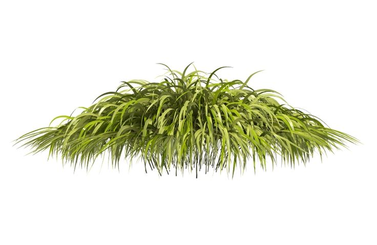 HAKONECHLOA 3D Mounded foliage of the variegated Japanese hakone grass, Hakonechloa macra 'Alboaurea' 3D greenview3d.com greenview3d