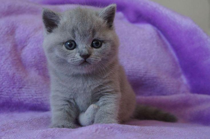 TARRA - Koty Brytyjskie Amazing Aisha*PL