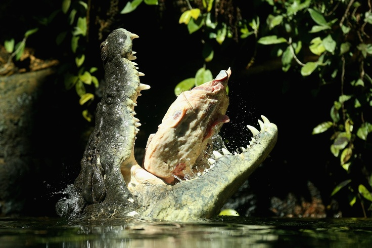 Rex, one of the world's largest crocodiles eats beef ribs at WILD LIFE Sydney Zoo on October 3, 2012 in Sydney, Australia. The 700kg crocodile ate his first meal today,