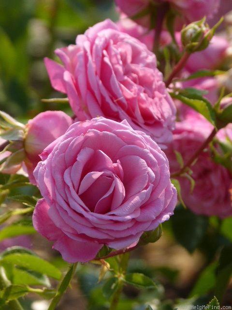 'Crescendo', Blüte: 10cm, 80-90cm, no fragrance