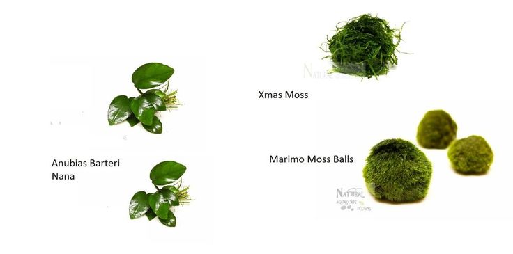 Low Light Plant Package - Anubias Nana, Xmas Moss, Marimo Moss Balls