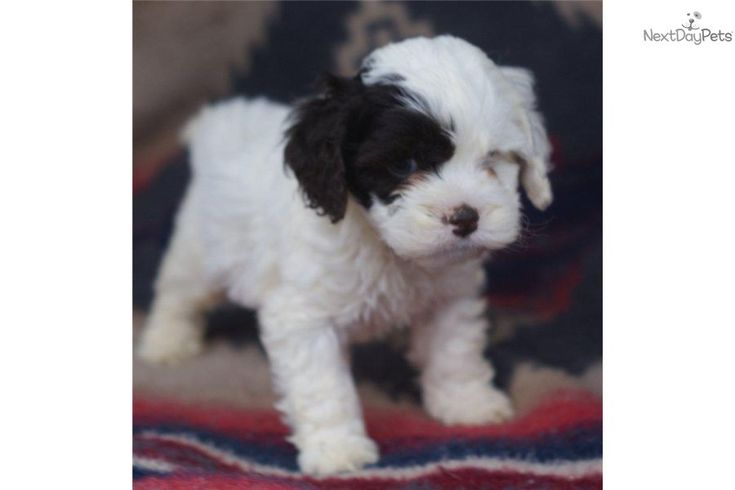 17 Best Ideas About Cockapoo Puppies For Sale On Pinterest -2561