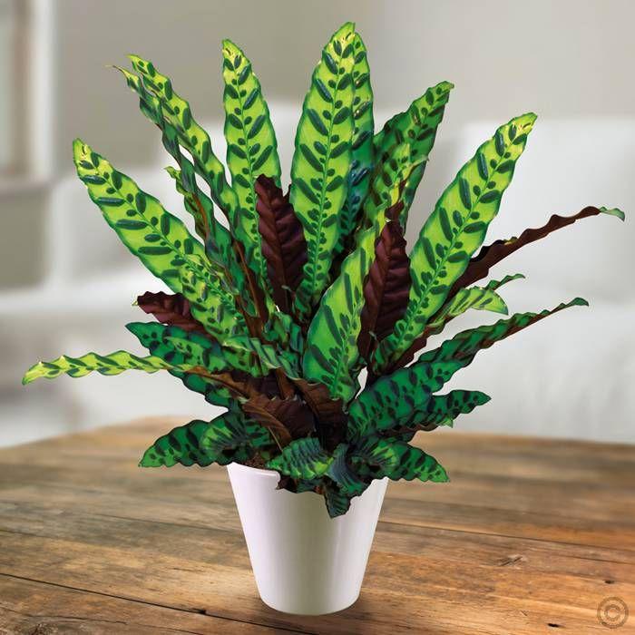 Calathea lancifolia - 1 plant Buy online order yours now