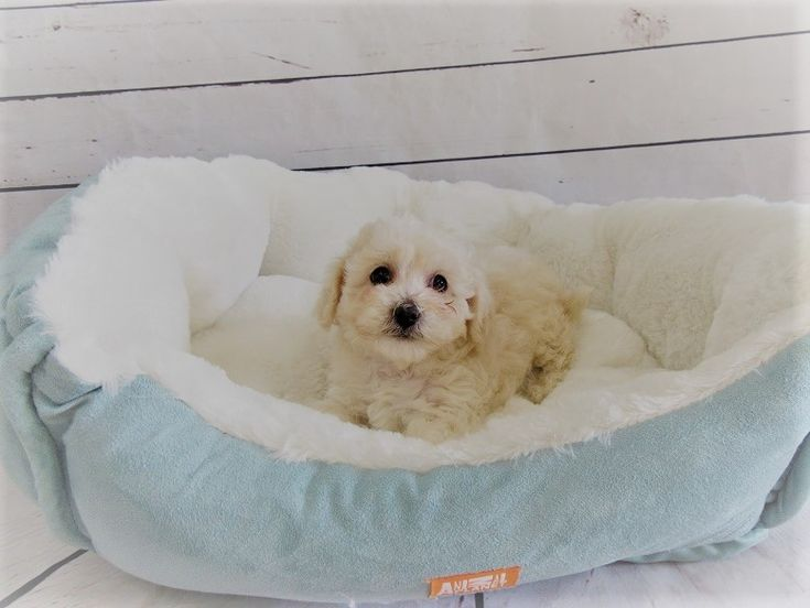 Maltipoo puppy for sale in LA MIRADA, CA. ADN-47087 on PuppyFinder.com Gender: Male. Age: 10 Weeks Old
