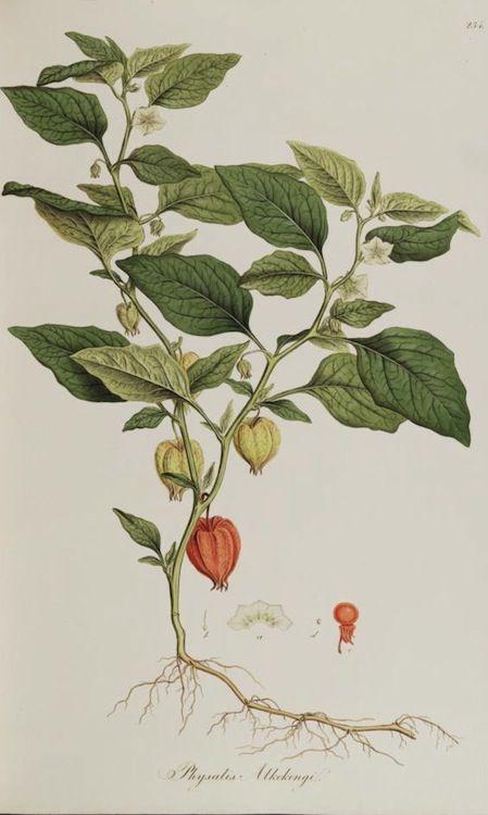 Chinese Lantern Plant. Physalis alkekengi. Published 1819.