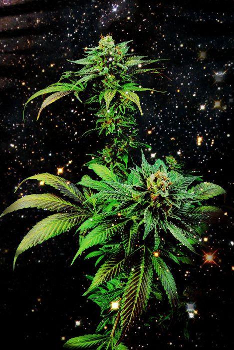 ( marijuana cannabis )