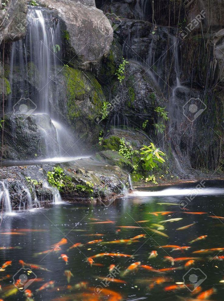 Her det et bilde av noen koi (Det er en fisk som er en nær slektning av gullfisker) som svømmer  ved en fossefall.