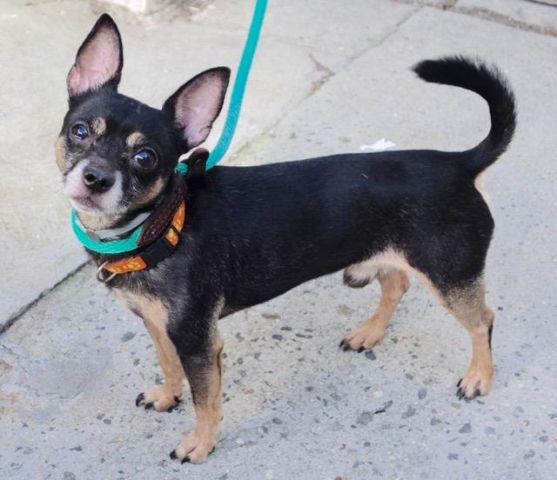 MAXIMILLION - A1092511 - - Manhattan  Please Share:TO BE DESTROYED 10/14/16 **ON PUBLIC LIST**Poor Maximillion is a 4 year old Chi mix surrendered due his owner's health. He's a little over 8 pounds, a Black and Tan cutie who is terrified of the shelter. He tried to warm up to the assessor but holds back because of his uncertainty. He misses his former owner and is looking for someone to comfort him in this strange environment. Well, the ACC doesn't cater