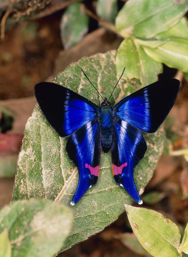 Butterfly Rhetus Sp. (riodinidae) From Ecuador