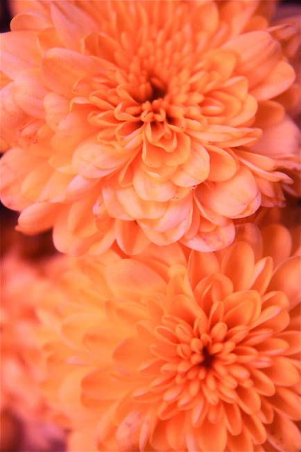Pinkish Orange Mums