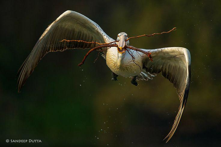 Spot Billed Pelican by Sandeep Dutta on 500px