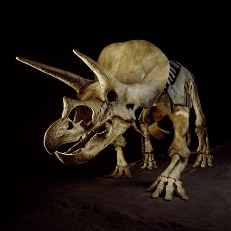 Triceratops Skeleton Photographic Print - Louie Psihoyos