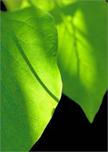 """Leinwandbild 60 x 80 cm - """"Grüne Blätter mit Sonnenflecken"""" von Andrea Fettweis - auch in anderen Größen und als Poster erhältlich von POSTERLOUNGE, http://www.amazon.de/dp/B005LFW1W4/ref=cm_sw_r_pi_dp_A1GMqb1CB09KA"""