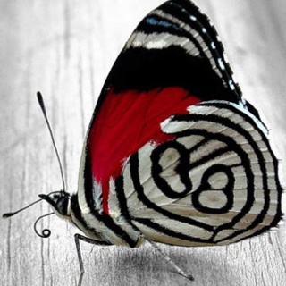 Beautiful butterfly in red, black and white