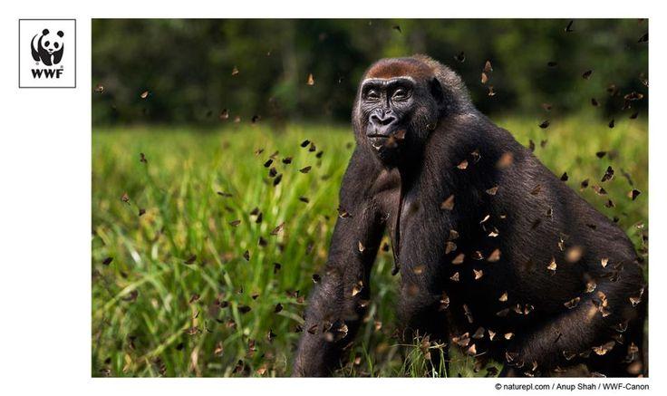 Western lowland gorilla female 'Malui' walking through a cloud of butterflies she has disturbed in Bai Hokou, Dzanga Sangha Special Dense Forest Reserve, Central African Republic WWF