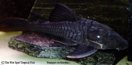 17 Best Images About Fish On Pinterest Cichlids