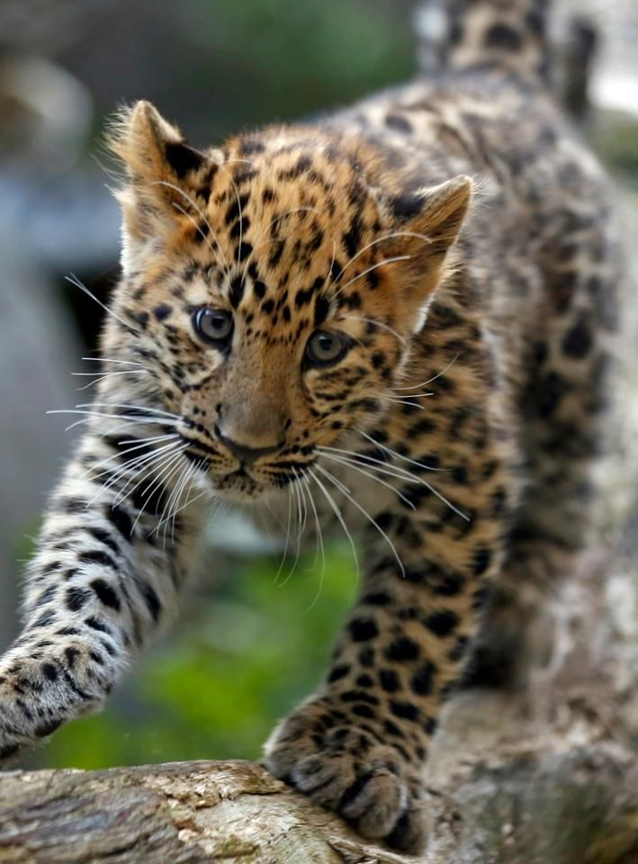 Two amur leopard cubs at the Minnesota Zoo