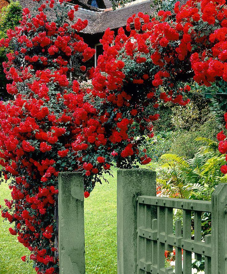 kletterrose 39 paul 39 s scarlet climber 39 rosen bakker. Black Bedroom Furniture Sets. Home Design Ideas