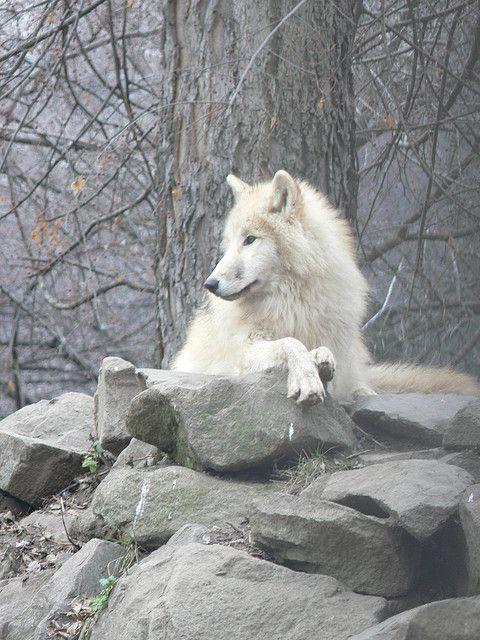 Tundrafarkas / Arctic tundra wolf (Canis lupus tundrarum), Budapest Zoo - Gábor Hernádi
