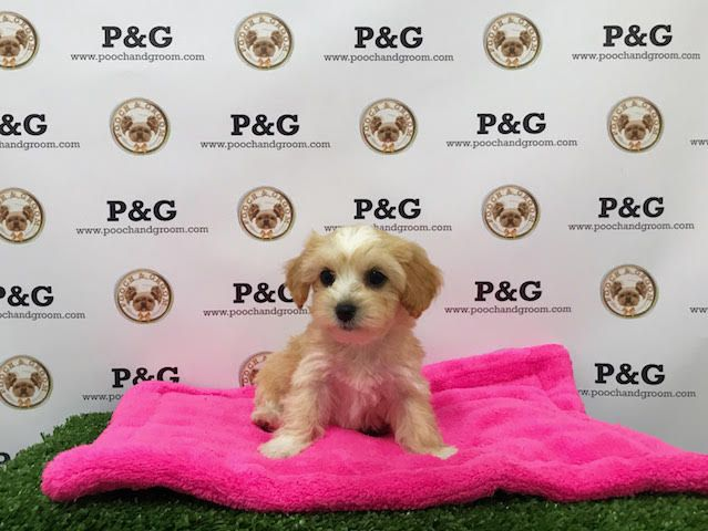 Maltese-Poodle (Toy) Mix puppy for sale in TEMPLE CITY, CA. ADN-40430 on PuppyFinder.com Gender: Female. Age: 8 Weeks Old