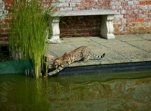 Which Savannah Cat is Right for You? - Select Exotics: For me the F3