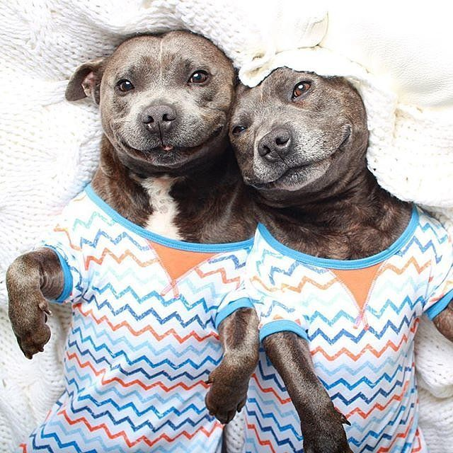 It's a Nonstop Pajama Party For These Puppy Brothers: Darren and Phillip, English Staffordshire Bull Terrier brothers from Australia, are practically inseparable.