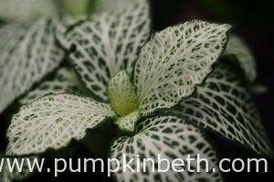 Fittonia verschaffeltii 'White Anne'