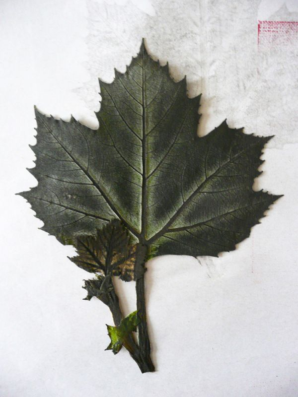 London Plane tree leaf used for nature prints 2015