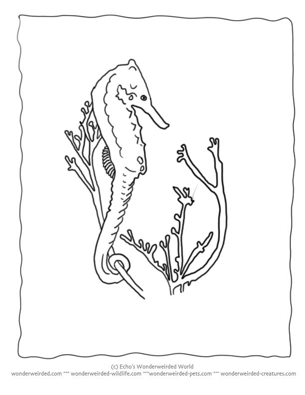 seahorse coloring pages ocean collection at wwwwonderweirded wildlifecomseahorse