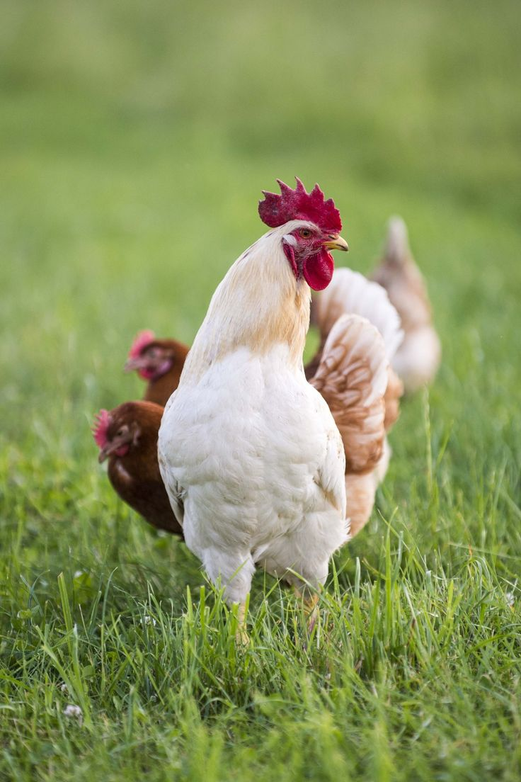 355 best crazy about chickens images on pinterest country life