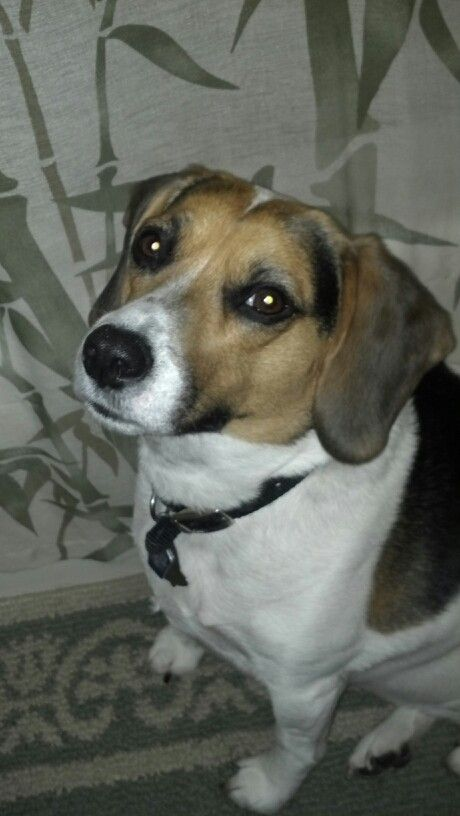 Bailey my beagle/jack russell mix | Bailey & Ziva | Pinterest