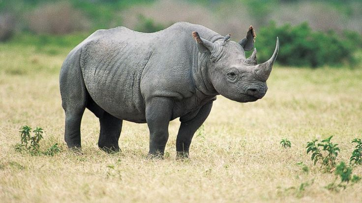 Texas Hunt Club Auctions Permit to Hunt Endangered Rhino. Oh, this is so wrong. There should be a protest.
