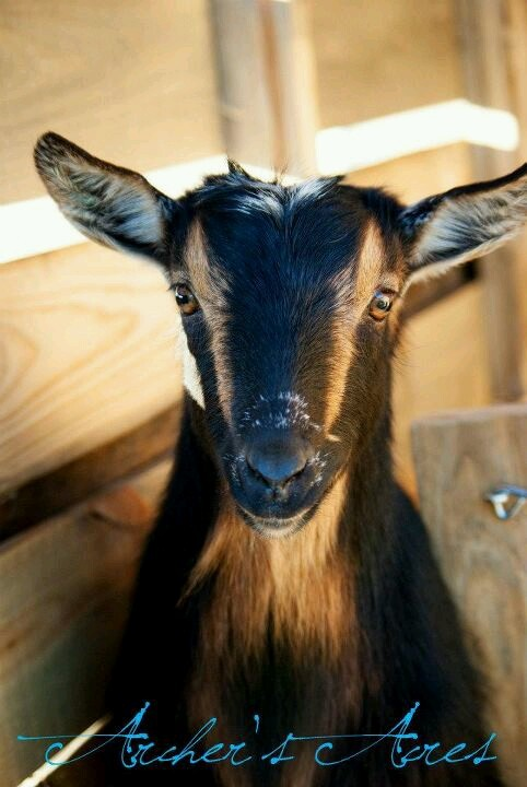 1000+ images about Nigerian dwarf goats on Pinterest ...