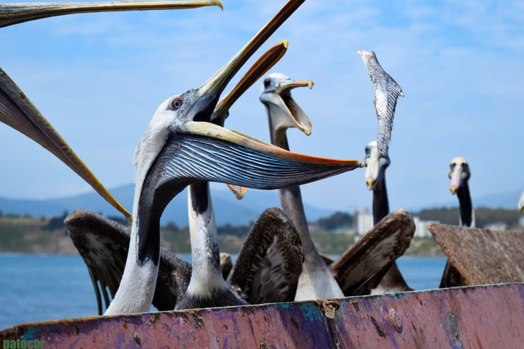 https://flic.kr/p/Chm7xd | Horcón007 | Pelícanos almorzando, Caleta Horcón, Valparaíso, Chile. D5300.-
