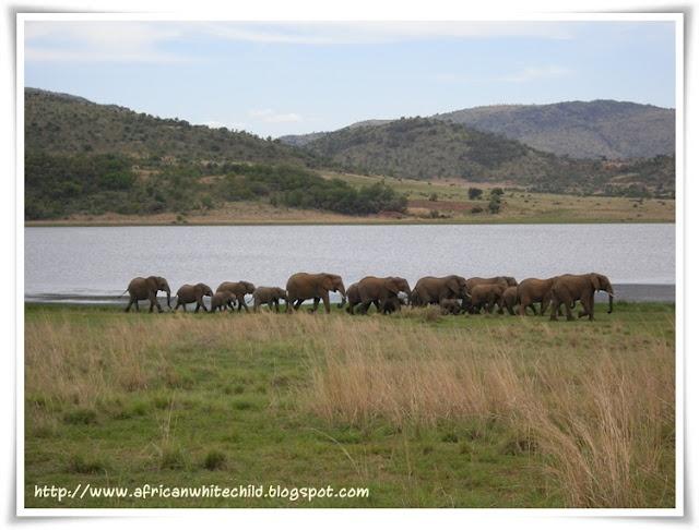 Elephant herd. Pilansberg Game Reserve SOUTH AFRICA