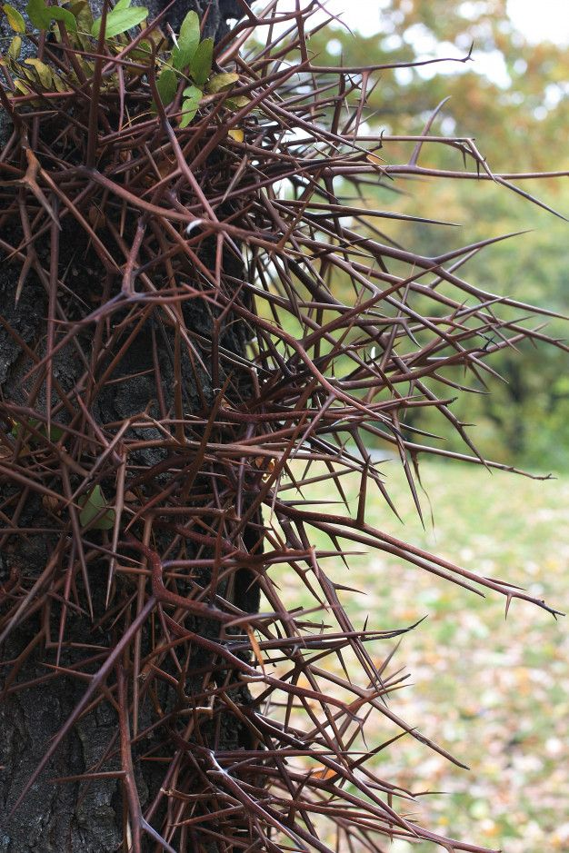 Large Sharp Branched Thorns On Trunk Of The Honey Locusts Tree In 2020 Honey Locust Tree Honey Locust Thorns