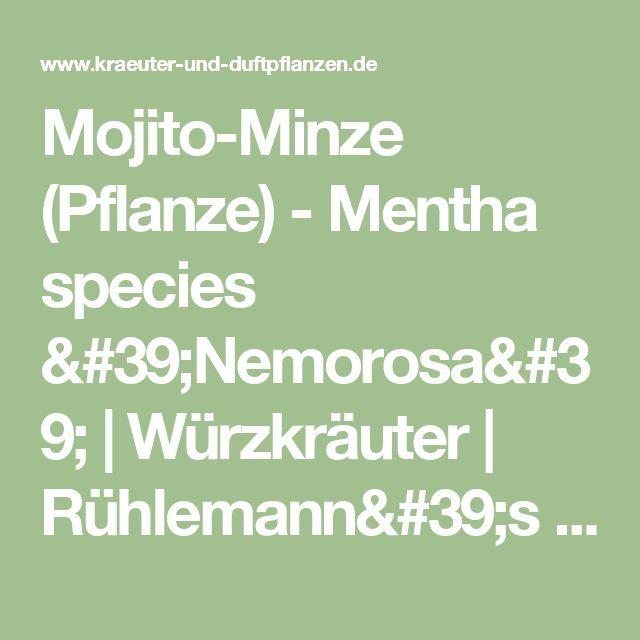 Mojito-Minze (Pflanze) - Mentha species 'Nemorosa' |    Würzkräuter | Rühlemann's Kräuter und Duftpflanzen