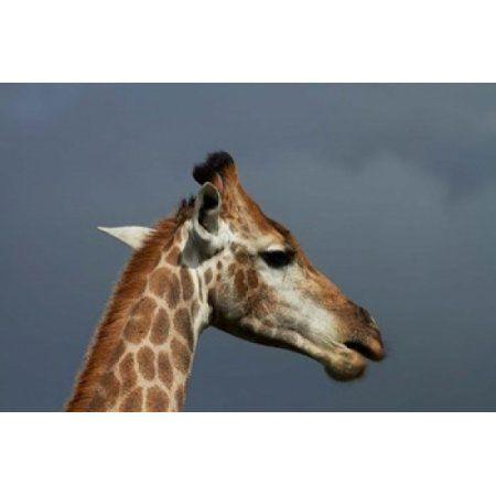 South African Giraffe Giraffa camelopardalis Kruger NP South Africa Canvas Art - David Wall DanitaDelimont (24 x 15)