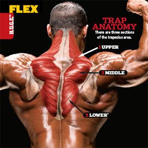 78 Best images about Shoulder and Trap Exercises on