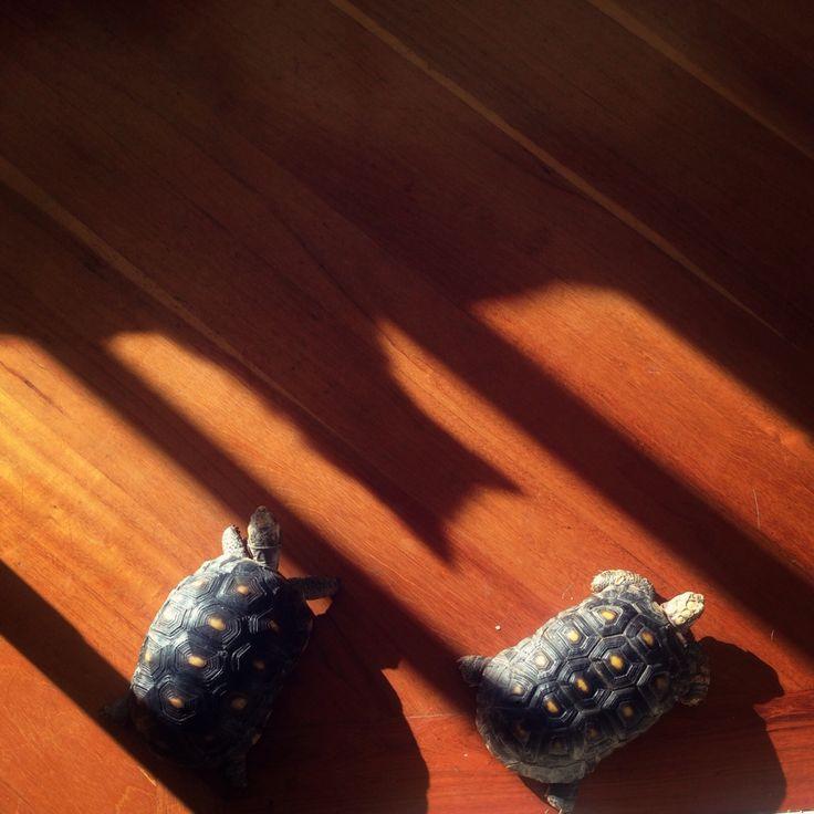 Ellas como siempre posando ante los rayos del sol, mientras su hermana juega a ser una batichica. #tortuga #gata #tortoise #turtle