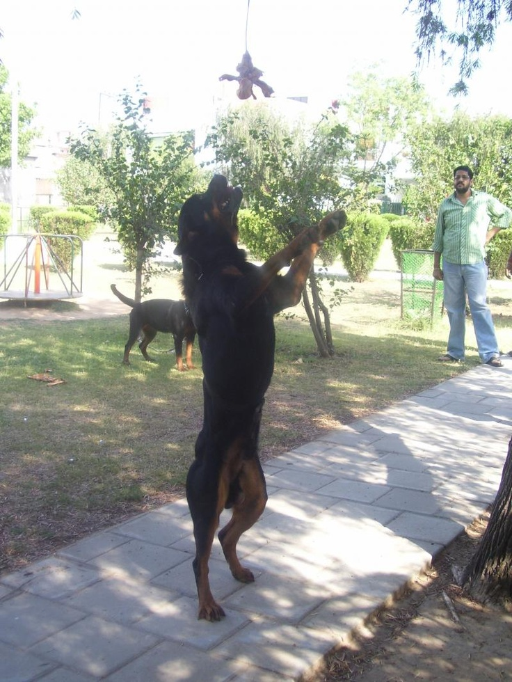 colorful pictures of rotties | Rottweiler For Sale | cido | Jammu| INDIA | Bony's k9guards | Dogs ...