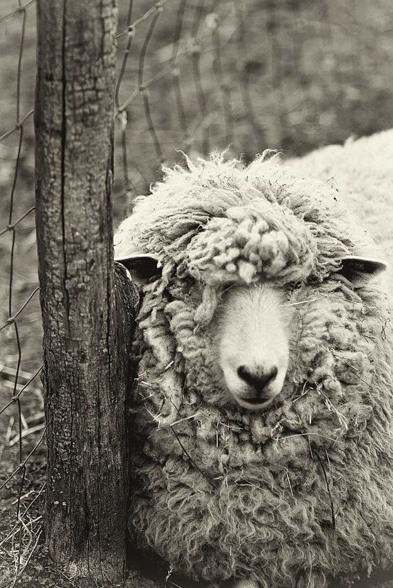 Sheep Photography Black and White Print by CarlChristensen on Etsy